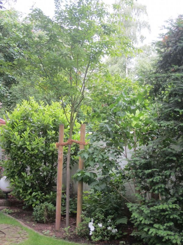 Ersatzpflanzung Kupferfelsenbirne, Baum pflanzen